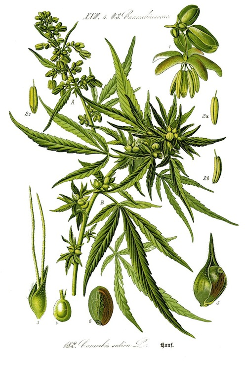 Illustration_Cannabis_sativa_web